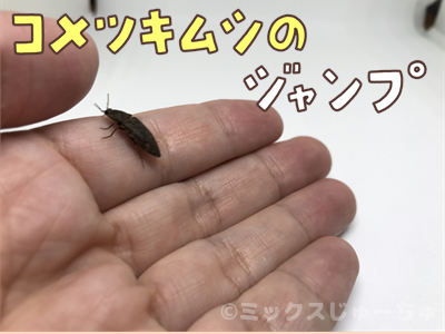 コメツキムシのジャンプ