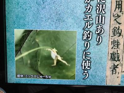 エノコログサのカエル釣り