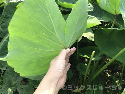 サトイモの葉っぱの根本