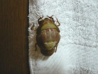 幼虫の背中が割れる
