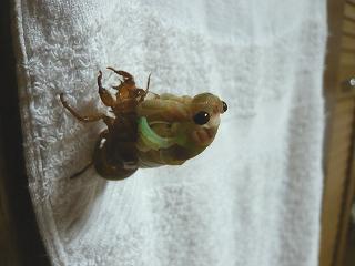 幼虫の頭が出る